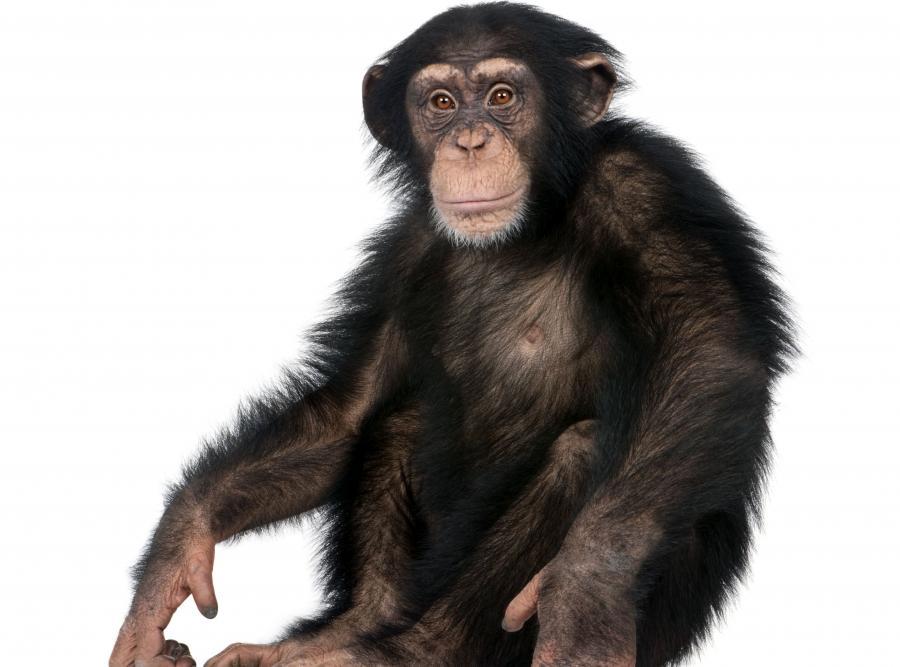 4955039-malpa-szympans-900-667