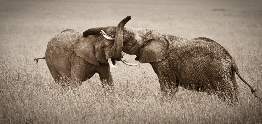 walczace-slonie